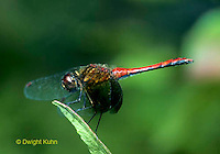 1O05-046z  Skimmer Dragonfly Adult Male - Banded Winged Meadowhawk - Sympetrum semicinctum