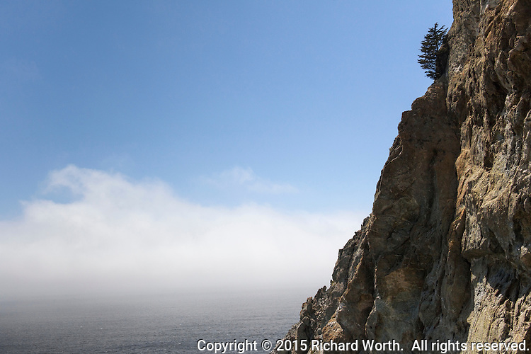 A lone tree clings tenaciously to the rocky side of a bluff above the gray Pacific ocean and creeping fog.  Devil's Slide Coastal Trail on the California coast.