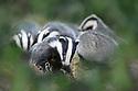 European Badgers (Meles meles) foraging in deciduous woodland. June, Mid Devon, UK.
