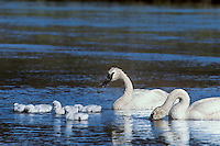 Trumpeter swan (Cygnus buccinator) family, Western U.S., June.