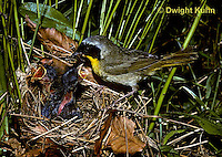WB05-005z  Common Yellowthroat Warbler - adult male feeding young at nest - Geothlypis trichas