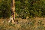 African Lion (Panthera leo) female, Kruger National Park, South Africa