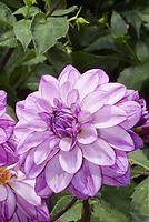 Dahlia 'Seduction' lavender stripe white