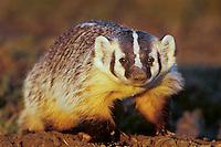 Young badger (Taxidea taxus), Western U.S.