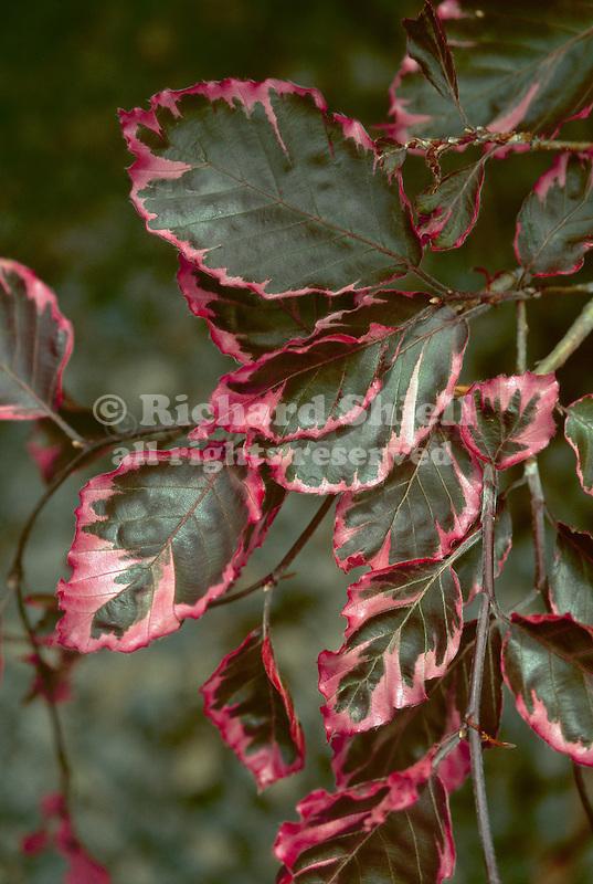 5486-CD Tricolor Beech, Fagus sylvatica `Tricolor', foliage, grown in Dayton, Oregon