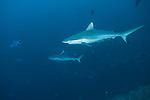Miyaru Kandu, Alimatha Island, Felidhoo Atoll, Maldives; several Gray Reef Sharks swimming in blue water amongst Redtooth Triggerfish