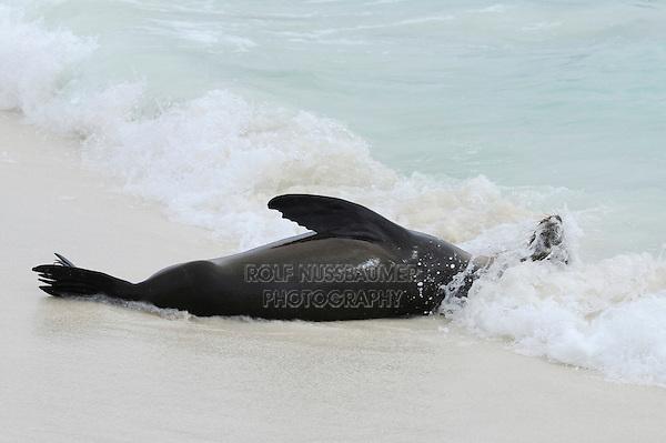 Galapagos Sea Lion (Zalophus wollebaeki), adult playing in surf, Espanola Island, Galapagos, Ecuador, South America