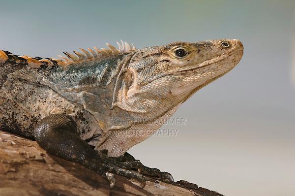 Black Iguana, Ctenosaur, Ctenosaura similis, adult, Manuel Antonio National Park, Central Pacific Coast, Costa Rica, Central America