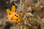 Lembeh Strait, Indonesia; a Thecacera sp. nudibranch, also known as the Pikachu nudibranch, moving across detrious vegetation on the sea floor is no larger than a pinky fingernail