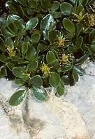 Stumpfblättrige Weide, Salix retusa, le Saule émoussé, le saule à feuilles tronquées