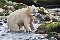 Spirit Bear 'Ringer'  with Salmon catch