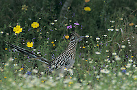 Greater Roadrunner, Geococcyx californianus,adult in wildflowers, Choke Canyon State Park, Texas, USA, April 2002