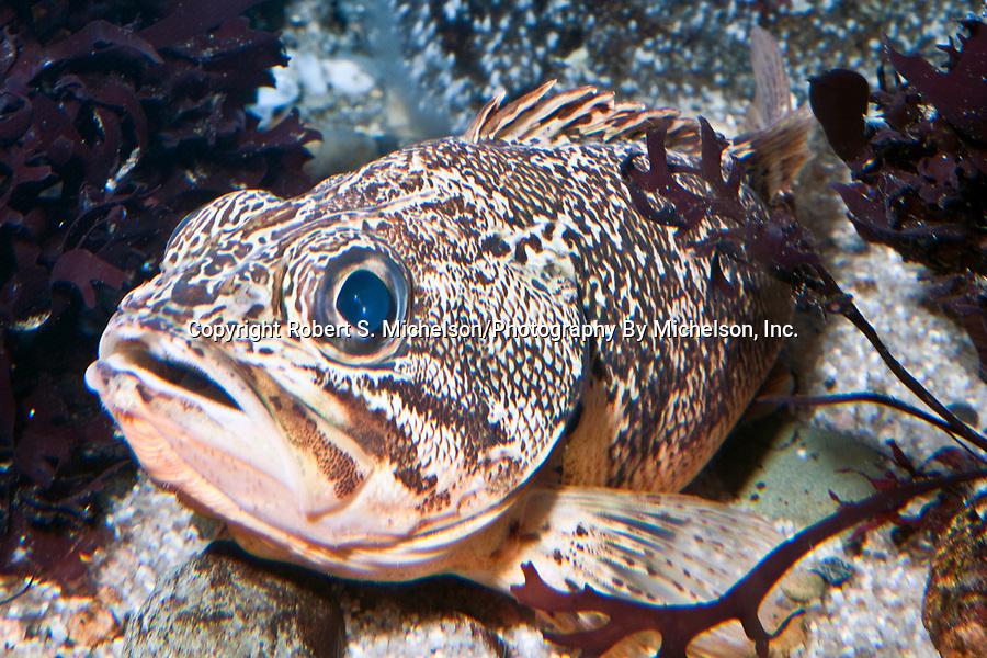 Blackbelly Rosefish