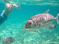 0109-1207  Horse-eye Jack (Giant-eye Jack) in Caribbean Reef with Person Swimming, Gamefish, Caranx latus  © David Kuhn/Dwight Kuhn Photography