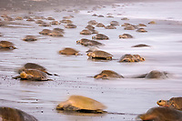 olive ridley sea turtle, Lepidochelys olivacea, females arrving on the beach for the arribada or mass nesting event, motion blur, Ostional, Costa Rica, Pacific Ocean