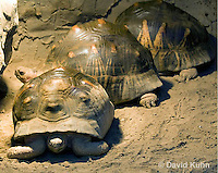 0217-1103  Radiated Tortoise, Found in Madagascar, Astrochelys radiata (syn. Geochelone radiata)  © David Kuhn/Dwight Kuhn Photography