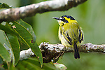 Yellow-browed Tody Flycatcher (Todirostrum chrysocrotaphum) in forest canopy along Napo River, Ecuador.