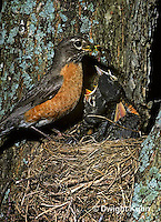 RO03-016z  American Robin - adult feeding young birds at nest - Turdus migratorius