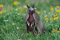 Nine-banded Armadillo (Dasypus novemcinctus), adult standing up smelling, Refugio, Coastel Bend, Texas, USA