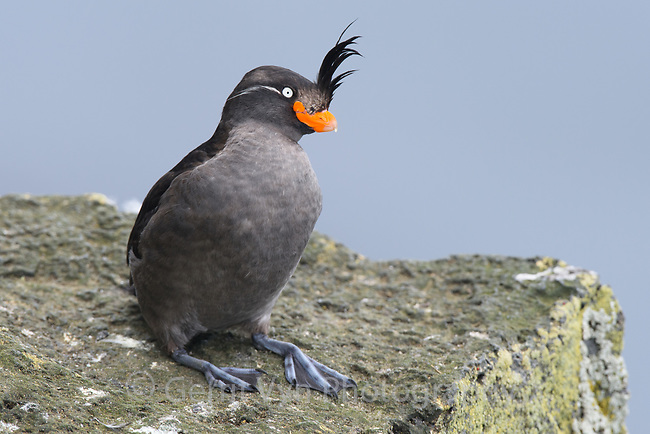 Crested Auklets (Aethia cristatella) on St. Paul Island in the Pribilof Islands, Alaska.