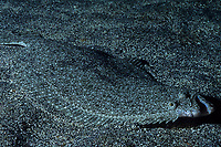 Bastard halibut , Paralichthys olivaceus, Izu ocean park, Sagami bay, Izu peninsula, Shizuoka, Japan, Pacific Ocean
