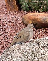 0724-1006  Mourning Dove in Arizona Desert, Zenaida macroura  © David Kuhn/Dwight Kuhn Photography