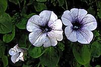 Flores. Petunia ( Petunia x hybrida). UK. Foto de Manuel Lourenço.