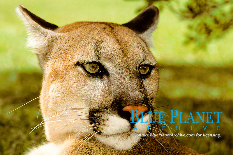 Florida panther, Puma concolor coryi, highly endangered, Busch Wildlife Sanctuary, Jupiter, Florida (c)