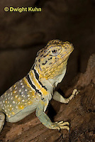 1R17-545z  Collared Lizard close-up of face, Male, Crotaphytus collaris