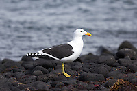 Kelp Gull on Heard Island, Antarctica