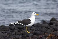 Kelp Gull on Heard Island, Antarctica