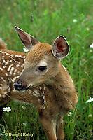 MA11-033z   White-tailed Deer - fawn - Odocoileus virginianus