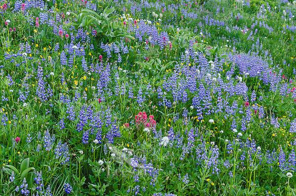 Wildflowers--lupine, arnica, paintbrush, valerian, heather, anemone or western pasqueflower and false hellebore (big green leaves)--in subalpine meadow, Mount Rainier National Park, WA.  Summer.