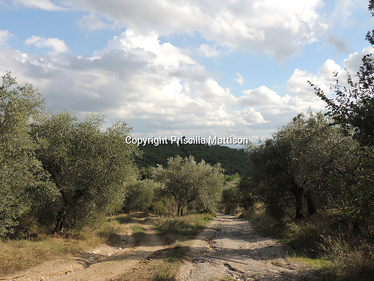 Val d'Arno, Italy - October 2, 2012:  Dirt roads pass through a Tuscan olive grove.