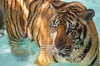 Tiger near Chiang mai