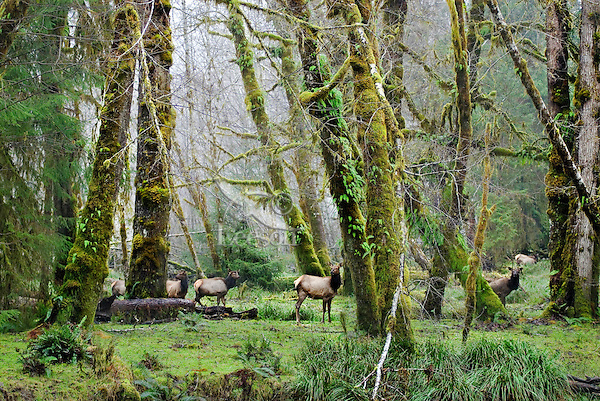 Roosevelt Elk (Cervus elaphus) herd among alder trees in Olympic National Park Rainforest.  Winter.