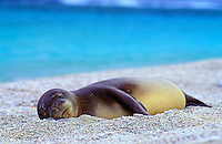 Endangered Hawaiian monk seal (monachus schauinslandi) sleeping on beach on Kure Atoll, Hawaii