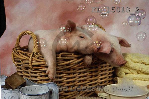 Interlitho, Alberto, ANIMALS, pigs, photos, 2 pigs, basket(KL15018/2,#A#) Schweine, cerdos