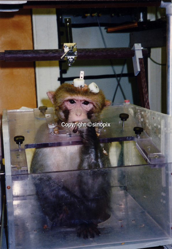 "A rhesus macaque sits in a box chair at a laboratory in the United States. The monkey has electrodes hard wired into it's brain for ""brain mapping"" experiments. The monkeys can be restrained in box chairs for hours each day and are experimened on for as long as they are able to survive...SINOPIX PHOTO"