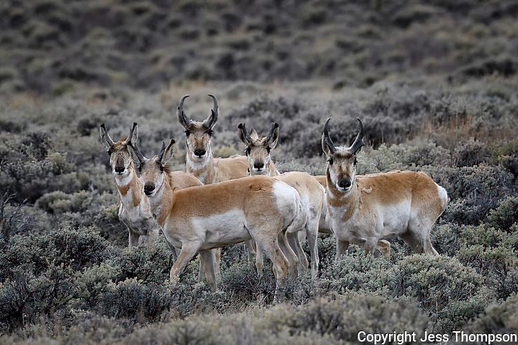 Pronghorns, Colorado