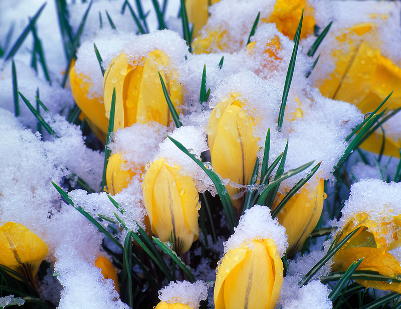 V00228M.tiff   Yellow Crocus with late spring snow. Corvallis, Oregon