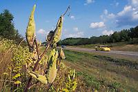Monarch Butterfly (Danaus plexippus) 4th instar Caterpillars feeding on Common Milkweed (Asclepias syriaca) on roadside. Milkweed is the only food Monarch caterpillars will eat. Summer. Nova Scotia, Canada.