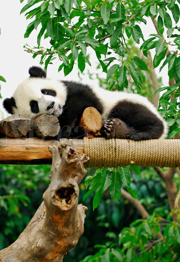 Giant Panda cub resting in play area at Chengdu Research Base of Giant Panda Breeding, Sichuan, China.