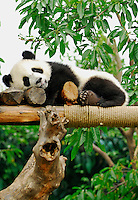 Giant Panda cub resting in play area at Chengdu Research Base of Giant Panda Breeding, Sichuan, China.