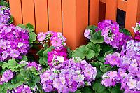 Obconica Primrose flowers and orange fence. Oregon
