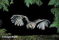 OW07-002z  Saw-whet owl - flying - Aegolius acadicus
