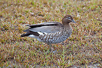 Australian Wood Duck female, Yamba, NSW, Australia