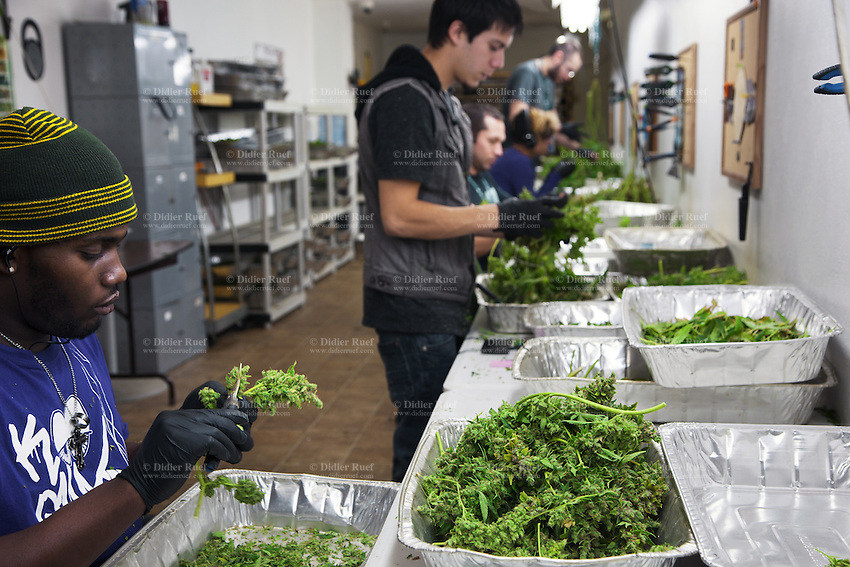 USA. Colorado state. Denver. After pot is harvested, workers cut marijuana leaves and flowers from the plants in the trim room at Medicine Man. Medicine Man began nearly six years ago as a small medical marijuana operation and has since grown to be the largest single marijuana dispensary, both recreational and medical, in the state of Colorado and has aspirations of becoming a national brand if pot legalization continues its march. Cannabis, commonly known as marijuana, is a preparation of the Cannabis plant intended for use as a psychoactive drug and as medicine. Pharmacologically, the principal psychoactive constituent of cannabis is tetrahydrocannabinol (THC); it is one of 483 known compounds in the plant, including at least 84 other cannabinoids, such as cannabidiol (CBD), cannabinol (CBN), tetrahydrocannabivarin (THCV), and cannabigerol (CBG). 18.12.2014 © 2014 Didier Ruef