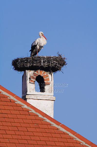 White Stork, Ciconia ciconia, adult on nest on chimney,Rust, National Park Lake Neusiedl, Burgenland, Austria, April 2007