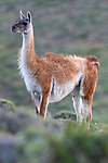 Adult female guanaco (Lama guanicoe) in alert posture, looking at a puma (Puma concolor) on the opposite hill slope. Torres del Paine National Park, Patagonia, Chile.